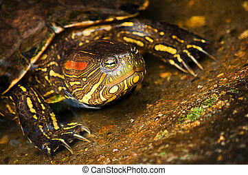 Red-eared Slider Turtle - A red-eared slider turtle coming...