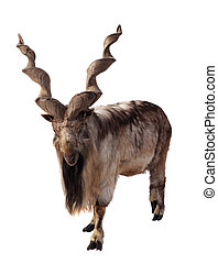 Markhor. Isolated over white - Markhor (Capra falsoneri)....