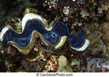 Giant clam (tridacna squamosa). - Giant clam in the Red Sea.