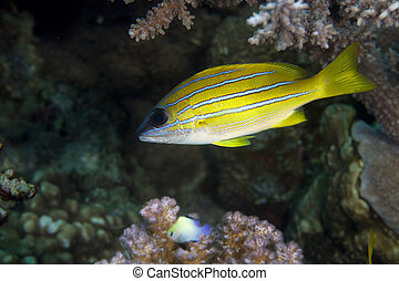Blue-striped snapper (lutjanus kasmira) - Blue-lined snapper...