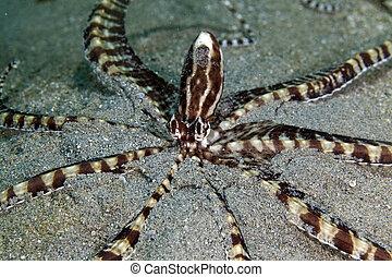 imitador, pulpo, (thaumoctopus, mimicus), rojo, mar