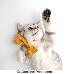 adorable young kitten cat  with bow tie playing