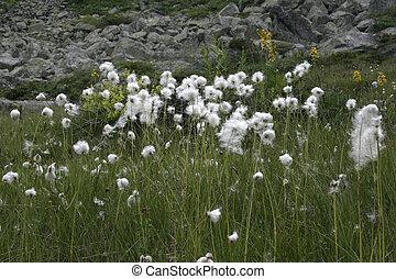 Flowers, mountain plants - Alpine flower plants