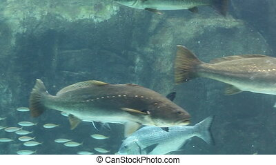Aquarium fish display - Large fishes including a ragged...