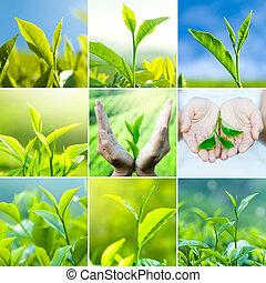 té, hojas
