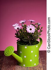 Pink African Daisy In Watering Pot - Pink African daisy...