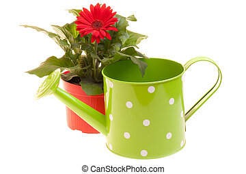 Flower And Watering Can On White - Pot with red Gerbera and...