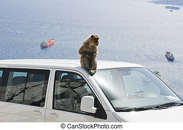 Ape of Gibraltar sitting on roof of white car - An is ape...