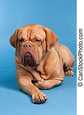 Cute French Mastiff/ Dogue De Bordeaux