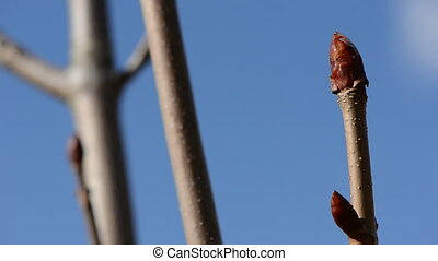 conker tree buds in early spring and sky