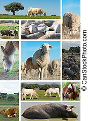 Livestock. - Collage about livestock with different animals.