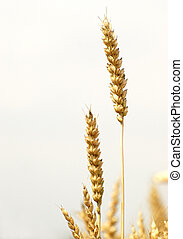 Ears of wheat on field