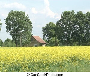 rural house rape field - rural house near flowering oilseed...