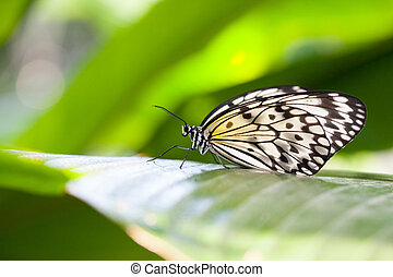 Paper Kite Butterfly - Closeup of a Paper Kite butterfly...