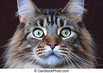 Maine Coon cat - Maine Coon, classic brown tabby color