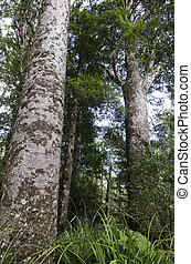 Kauri Puketi Forest, NZ - Kauri trees in Puketi Forest in...