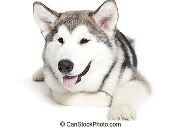 malamute puppy - Five month old alaskan malamute puppy...