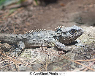 The Tuatara is endemic to New Zealand