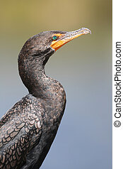 Double-crested Cormorant Phalacrocorax auritus - Everglades...