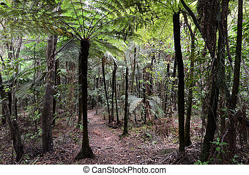 Kauri Puketi Forest, NZ - Native Punga trees in Kauri Puketi...