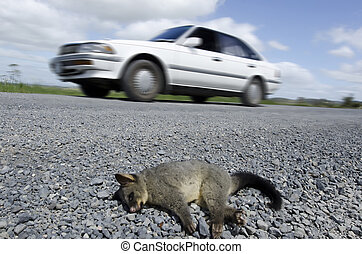 Wildlife and Animals - Possum - A possum killed by a car on...