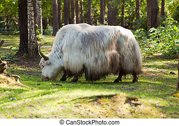 White yak  in forest area