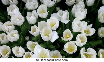 White tulip flower bed - beautiful white tulips view from...