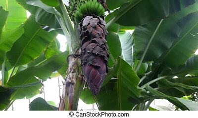 Banana tree with flowers - Zooming in banana heart flower...