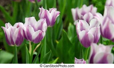 Purple and white tulip field