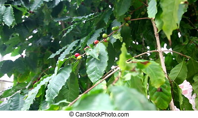 Coffee tree with beans - Zooming in ripening coffee beans on...