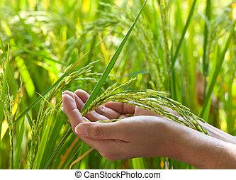 closeup, arroz, mão, cima, paddy