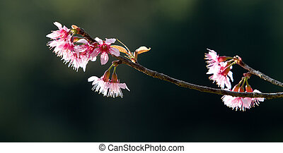 Spring cherry blossoms on pink background