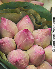Group of lotus flower