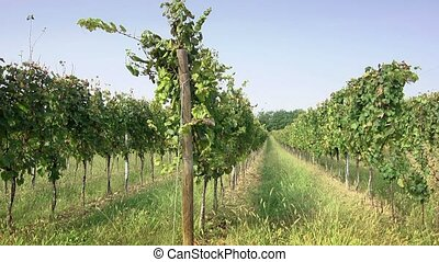 Farmer inspecting vineyard for wine - Man at work as farmer...