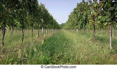 Vineyards for wine production - Italian landscape,...