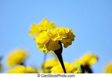 Żółty, Nagietek