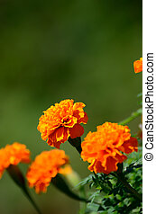 Orange marigold. The marigold which basks in the light of...