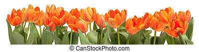 Orange Tulips - Fresh Orange Tulips Isolated on White...