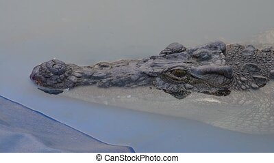 crocodile in farm footage