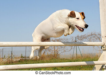 jack russel terrier in agility - portrait of a purebred jack...