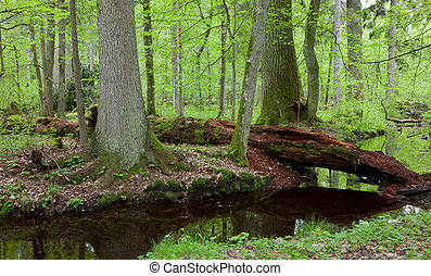 Two large tree by slow flowing river and broken partly...