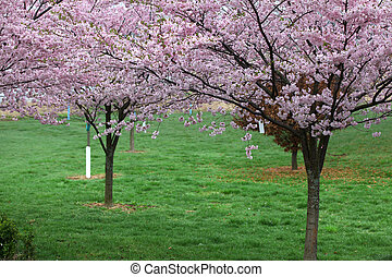 Spring scene - Cherry blossom on trees during spring time