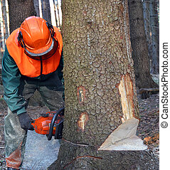 Lumberjack cutting down tree - Lumberjack cutting down large...