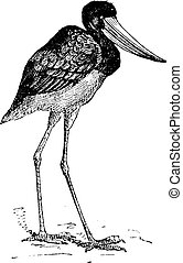 Jabiru of Senegal, vintage engraving - Jabiru of Senegal,...