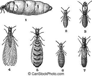 Termites, vintage engraving. - Termites, vintage engraved...