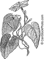 Jalap (Ipomea Purga), vintage engraving. - Jalap (Ipomea...