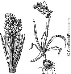Hyacinth, Bluebell, vintage engraving - Hyacinth, Bluebell,...