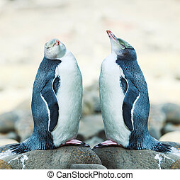 Yellow-eyed Penguins - Wildlife photo of a Yellow-eyed...