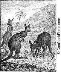 Kangaroo, vintage engraving. - Kangaroo, vintage engraved...