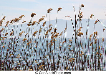 Reed Marmara Sea - reed in the wind at the Marmara Sea in...
